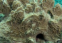 BD-080403-Bunaken-4031039-Pachyseris-gemmae.-Nemenzo.-1955-[Serpent-coral].jpg